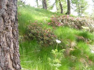 rododendri verso il monte trusciera, valle germanasca