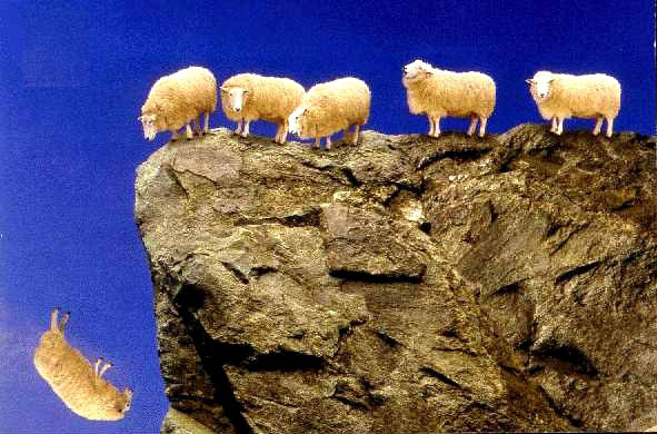 sheep walking off a cliff