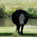 la vaca.