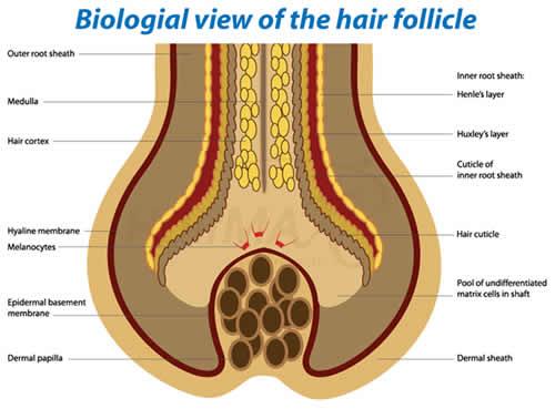 Dermal Papilla Hair Follicle