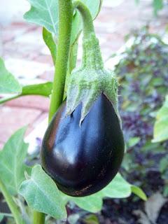 urban garden eggplant