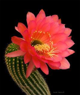 cactusii de toate felurile(ingrijirea si inmultirea lor) !!!!!! Trichocereus+hybrid1