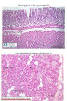 free histology pdf file
