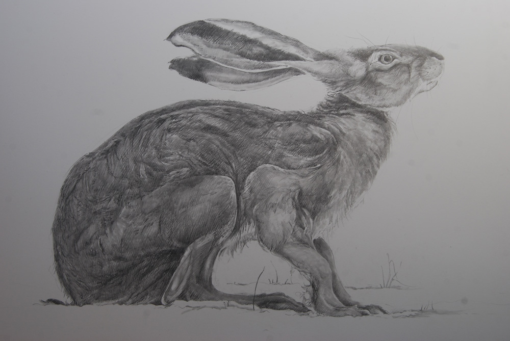 Hare Line Drawings Distracted Drawing Hares