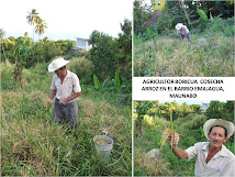 Agricultores  de  Guayaney - Siembra  de  Arroz