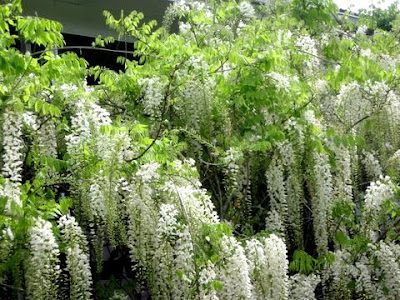 the white wisteria growing at the front of our house