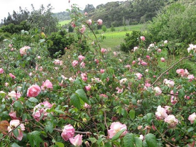 gorgeous pink roses growing next to the house