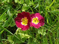 These innocent primula are without prejudice