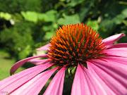 fiori come bottoni. (Echinacea purpurea) .e piccolo free da ricamare