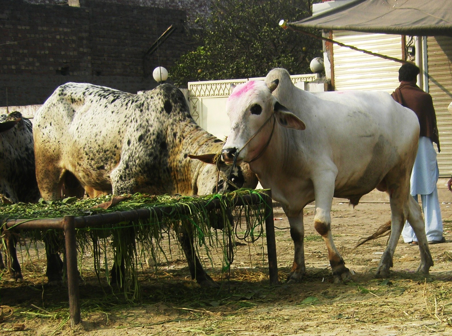 Its My LIFE Cows For Sale. Video Bokep Indonesia Online 2015. View ...