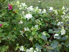 white bouganvilla