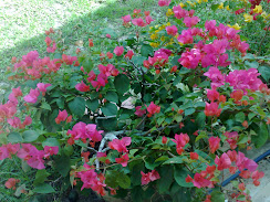 bloom bouganvilla