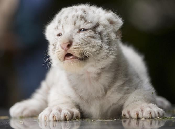 CACHORROS Y ANIMALES - Página 2 Cachorro-tigre-blanco-fotografiado-durante-primera-revision-medica-Alemania