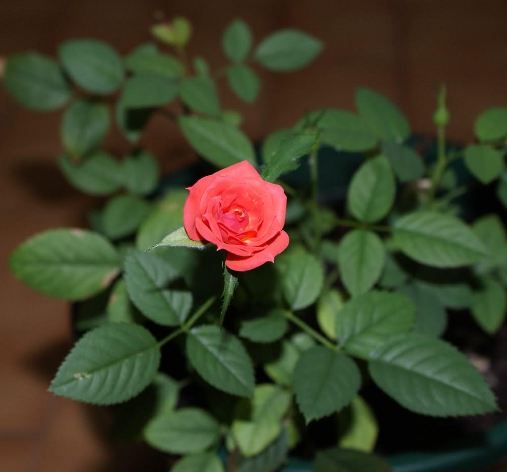 rosas no jardim poema : rosas no jardim poema:Carioca da Gema: Poema da rosa