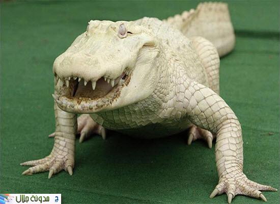 حيوانات ناصعه البياض Albino+Alligator-2