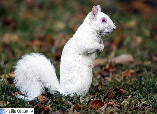 حيوانات ناصعه البياض Albino+squirrel