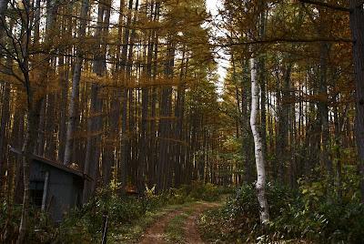 尾瀬檜枝岐村七入オートキャンプ場付近のカラ松林
