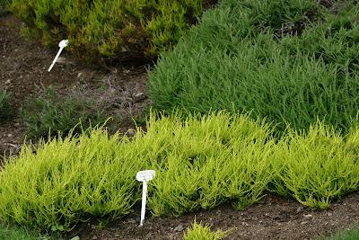 heather plant