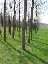 Our Walnut Trees
