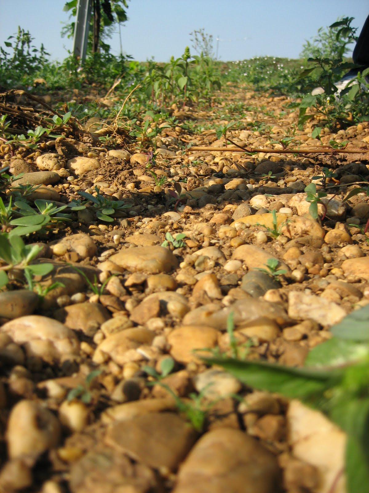 Juris Vineyard Soil