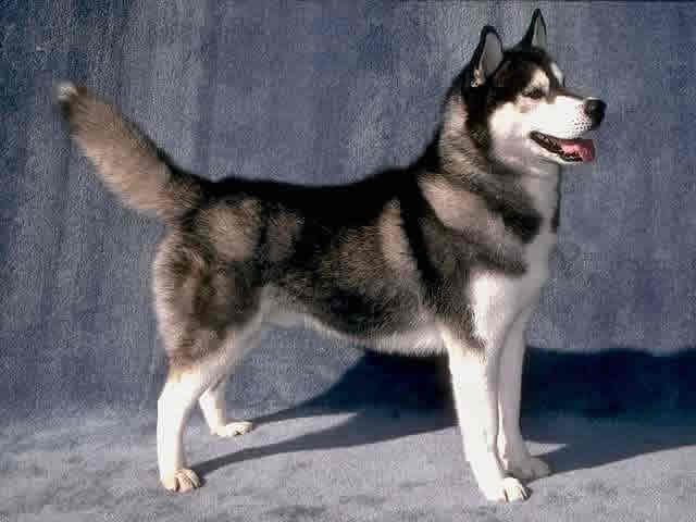 seekor husky untuk menjaga rumah atau kebun anda, karena husky