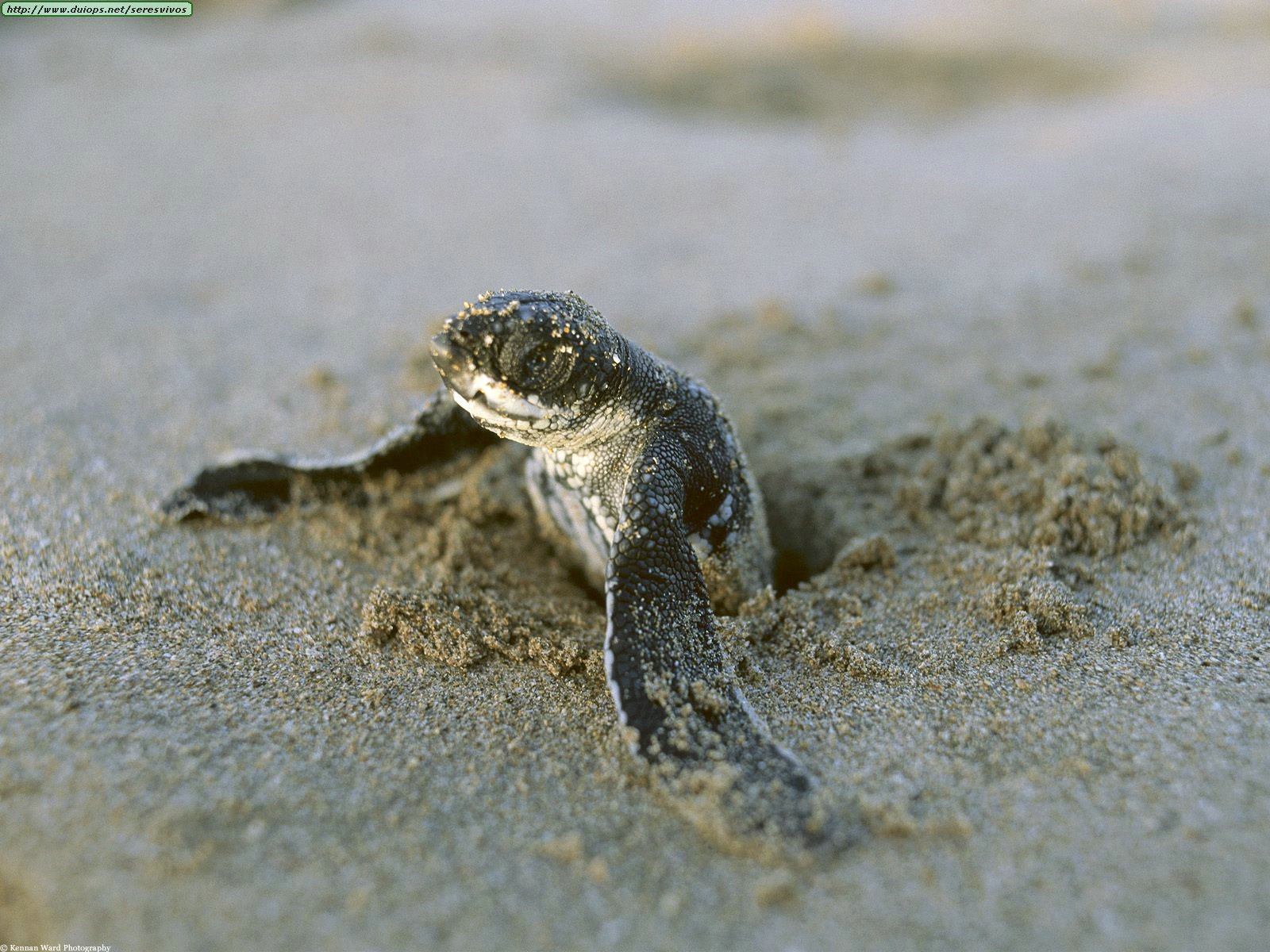 a look at sea turtles and their endangerment Sea turtles spend most of their lives in the water, where not much information can be gathered on their behavior most of what is known about sea turtle behavior is obtained by observing hatchlings and females that leave the water to lay eggs.