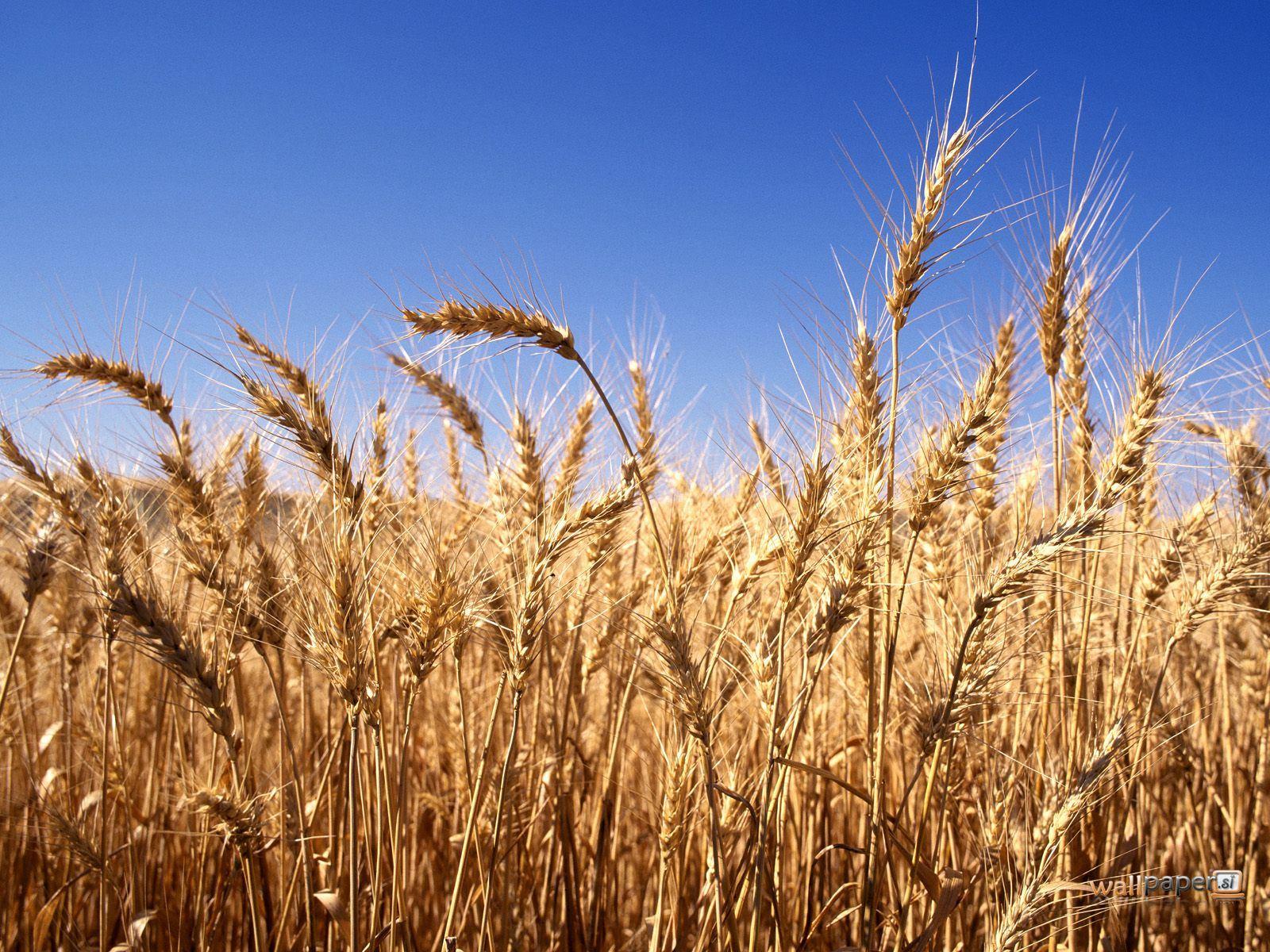 http://4.bp.blogspot.com/_ahujDTYqHjU/TRwT9QJJIvI/AAAAAAAAABc/xGGjf9gpswo/s1600/Harvest-Time-Wallpaper.jpg
