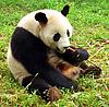 Panda beim Fressen - Wikipedia