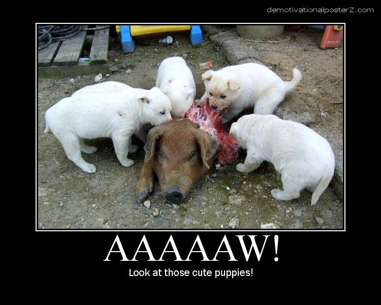 cute puppies eating a pig aaaaaw