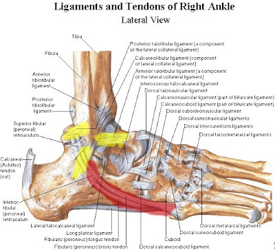 Ligaments Of The Foot