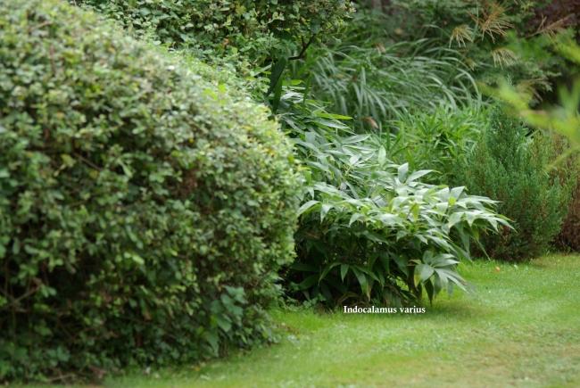 les jardins de la poterie hillen: indocalamus varius