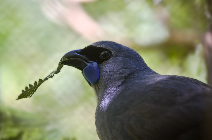 Kokako