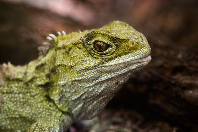 Tuatara, captive at Mt Bruce
