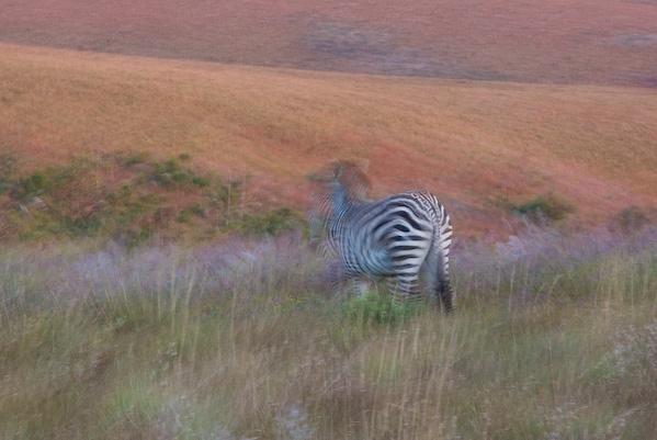 Zebra, Nyika
