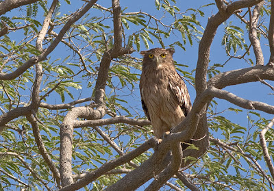 Brown fish-owl, Barda Hills