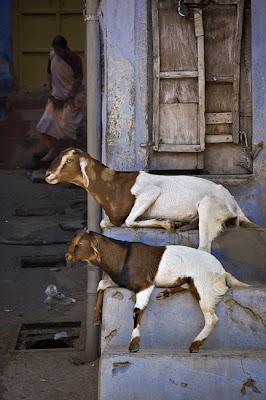 Goats; Bundi