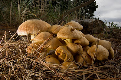 Gymnopilus junonius at Farewell Spit