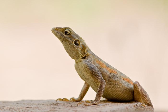 Female agama lizard, Accra, Ghana
