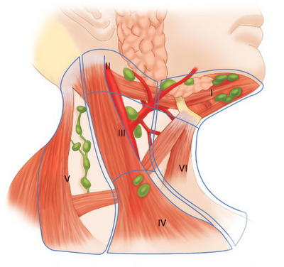 20 - Lymph nodes of the neck