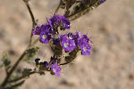 Pretty desert flower.....