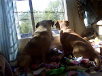Puggles on  Window  Guard Duty