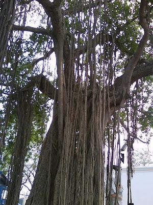 Banyan tree at St. Thomas Mount