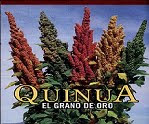 Planta de Quinua