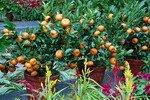 Апельсины в горшочках