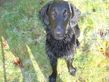 Spud - Flat-coated Retriever