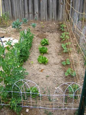 Peas, lettuce, beans