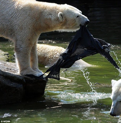 Polar bear attacks woman at berlin zoo curious funny Design attack berlin