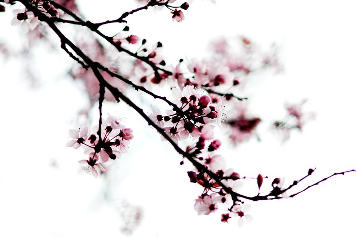cherry blossom branch - photo #14