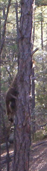 coati up a tree in Deadman Canyon