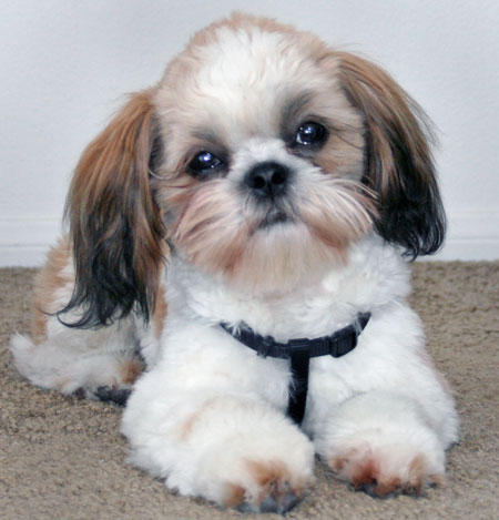 Dogs Hair Cuts on Shih Tzu Dog S Coat Grows Quickly So You Are Going To
